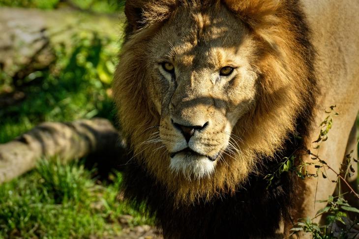 lion-4461391_1920